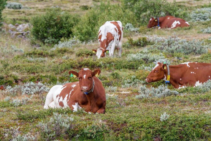 Grovfôrbasert husdyrproduksjon